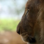 LionGaze